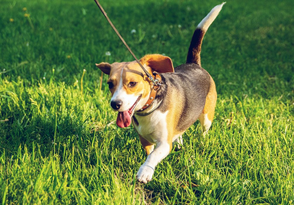 Dog running on leash in grass
