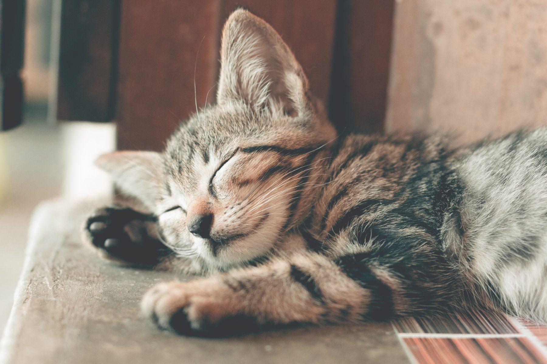 Tabby kitten asleep